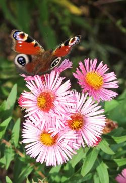 Asters-et-Vanesse_.jpg