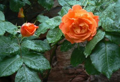 roses3_r.jpg